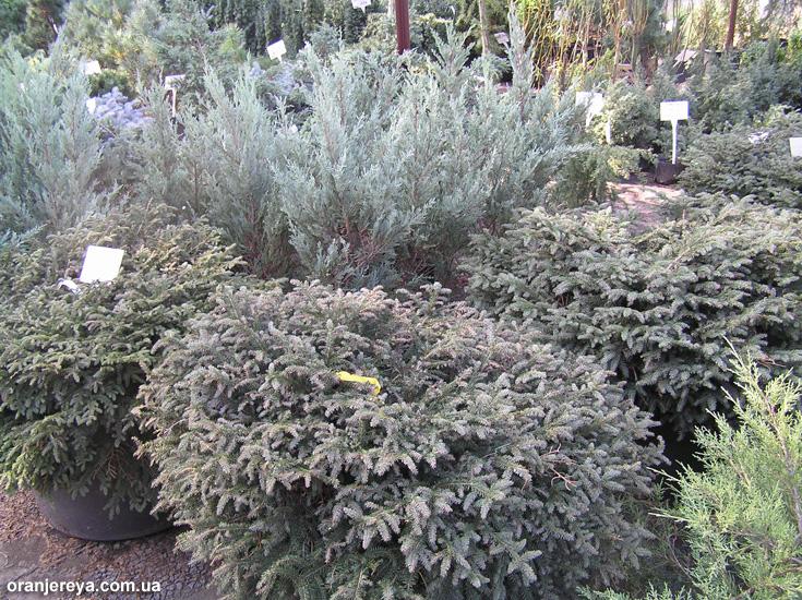 Продажа растений: деревьев и кустарников, крупномеров
