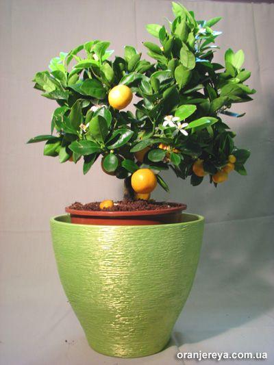 citrus_kalamondin.jpg